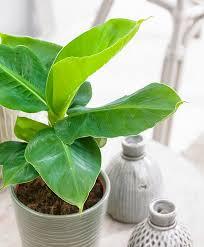 Buy House Plants Buy House Plants Now Banana Plant U0027oriental Dwarf U0027 Bakker Com