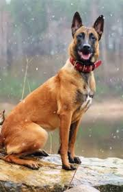 belgian malinois markings belgian malinois dog breed information pictures characteristics