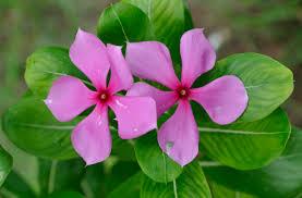 madagascar native plants periwinkle catharanthus roseus medicinal uses
