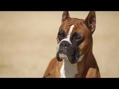 boxer dog youtube compare dog breeds boxer vs american pit bull terrier detailed