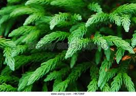 colour leaves evergreen ornamental needle stock photos colour