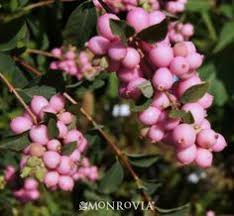 Learn More About Full Sun by Scarlet Pearl Snowberry Symphoricarpos Scarlet Pearl P P 13244