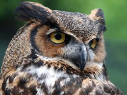 owls bring mystery plus rodent control mississippi state