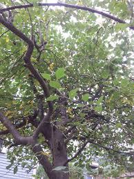 a backyard apple tree german jewish cuisine