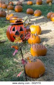 and thanksgiving themed pumpkin lined path with stock