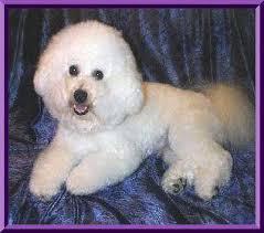 1 week old bichon frise bichon frise puppyfeeding schedule all about bichon frise dogs