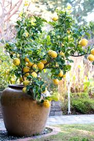 Ideas For Container Gardens - ideas for container gardening lemon gardens and container gardening
