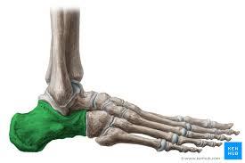Os Calcaneus Calcaneus Anatomy And Pathology Kenhub