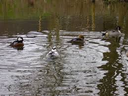 campingpark bielefeld ornamental waterfowl