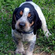 bluetick coonhound puppies for sale in louisiana bluetick coonhound knowledge base lookseek com