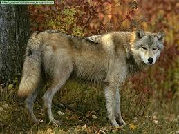 imagenes de animales carnivoros para imprimir fotos de lobos i