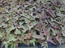 blackie ipomoea sweet potato vine