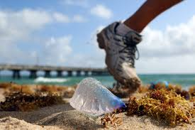 Purple Flag Beach The Stinging Portuguese Man Of War Turns Up On South Florida