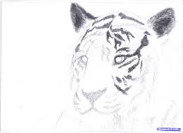 learn how to draw a white tiger draw a tiger in pencil safari