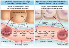 respiratory gases images human anatomy image