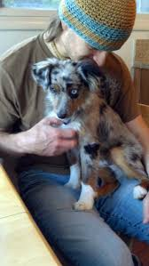 australian shepherd growth chart raising a mini aussie how long does it take a mini to be full