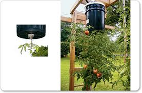 Upside Down Tomato Planter by Two Ways To Grow Tomatoes Upside Down