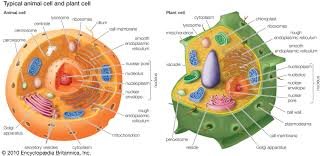 cell structure ms noller u0027s classroom engage minds teach