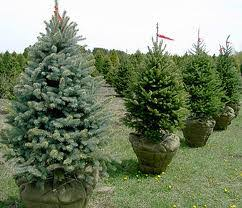 great big greenhouse christmas tree care and selection