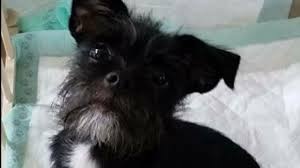 affenpinscher puppies cost small dog survives after being thrown from moving vehicle on i 10