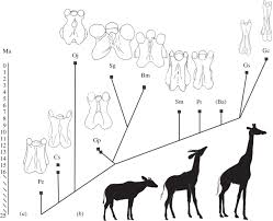 how giraffes became winners by a neck u2013 phenomena laelaps