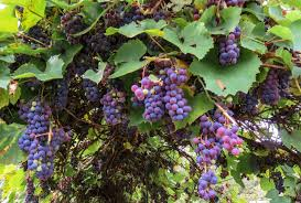 Grape Vine Pergola by Growing Grapes On A Pergola U2013 Laidback Gardener