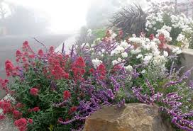 Drought Tolerant Backyard Ideas A Lovely Trio To Try Mexican Bush Sage Valerian And Roses