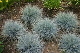 festuca glauca elijah blue grass ornamental from frank otte nursery