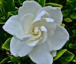 gardenia flower gardenia flower essence honest owl herbal