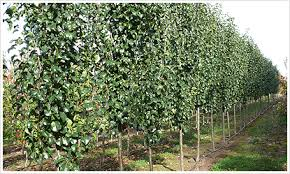 ornamental pears are a popular and widely used deciduous tree