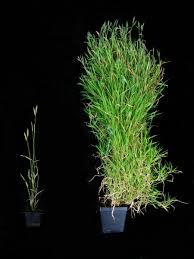 spring flower newly identified gene helps time spring flowering in vital grass crops