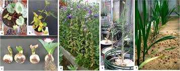 biological of ornamental plant diseases caused by fusarium