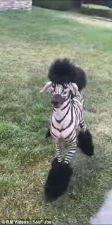 zebra poodle runs yard san francisco daily mail
