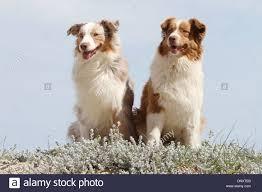 australian shepherd queensland aussie sitting on stock photos u0026 aussie sitting on stock images