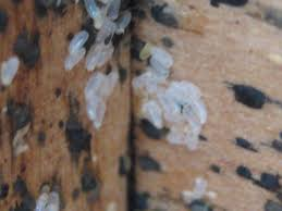 Bed Bug Nest Pictures Bed Bug Exterminator Toronto Affordable Bed Bug Heat Treatment