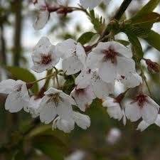prunus pandora flowering cherry tree mail order trees