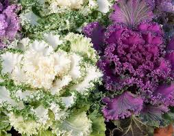 get three sles free on purchase of ornamental kale fringed leaves