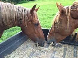 Hay In The Middle Of The Barn Song Why Are These Horses Eating Hay The Soul Of A Horse Blog