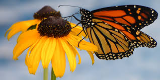 monarch butterfly basic facts about monarch butterflies