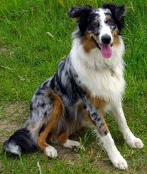 australian shepherd quebec australian shepherd dog rescue network resource center