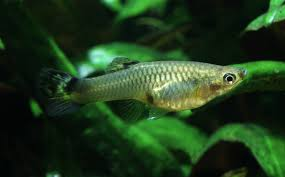 what to do when your guppy female is expecting fry my aquarium club