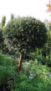 Yew Topiary - buy yew tree topiary taxus baccata topiary for sale uk