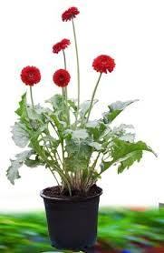 gerbera plant gerbera plant in satara patan