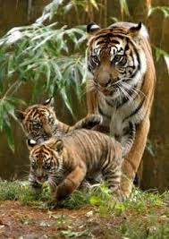 is it possible to raise a tiger as a vegetarian if i only feed it