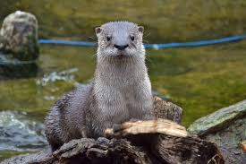 Maryland Wildlife images Maryland zoo welcomes piper north american river otter rescuing jpg