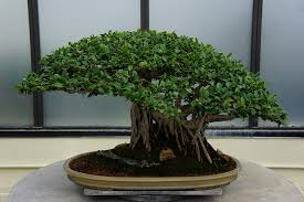 free photo plant small tree bonsai potted free image on