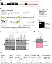 reduced life and healthspan in mice carrying a mono allelic bubr1