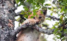 cat nap adorable baby lynx takes a nap halfway up a tree