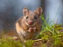 field mouse 101 facts and tips to get rid of field mice pestwiki