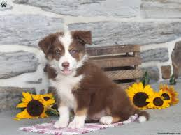 bearded collie x border collie puppies for sale border collie mix puppies for sale greenfield puppies